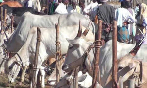 Central Govt, Bans, Cattle, Narendra Modi, BJP, New Rules, India
