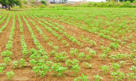 Scout, Farmers, Cotton Agriculture, Crop, Punjab