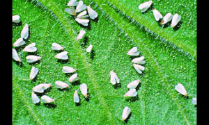 White fly, Outbreak, Scientists, Farmers, Crop, Agriculture, Haryana