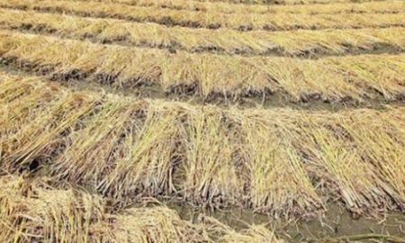 Food Grains, Decay, Farmers, Crop