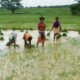 Paddy, Cultivation, Crop, Children, Punjab
