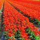 Farming, Cultivating Roses, Farmers, Crop
