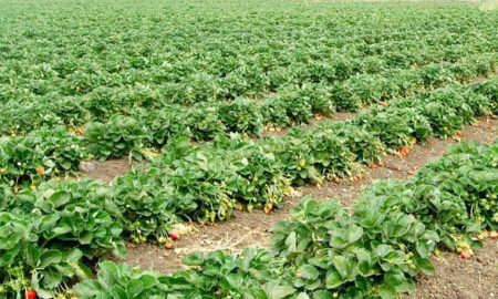 Employment, Strawberry Crop, Production, Haryana