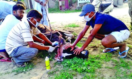 Destitute Animal, Dera Sacha Sauda, Follower, Help, Gurmeet Ram Rahim, Welfare Work