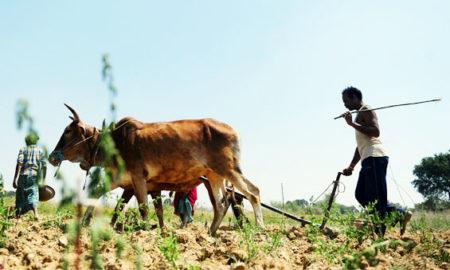 Farmer, Upset, Rising Yields, Crop