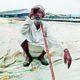 Paddy Crop, Spoiled, Rain, Farmer, Loss, Haryana