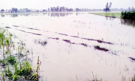 Paddy Crop, Ruin, Heavy Rain, Farmer, Worried, Punjab
