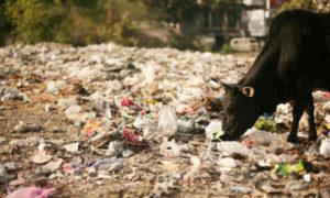 Clean, Garbage, Strict, Pollution Control, Gurmeet Ram Rahim