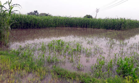 Rain, Crop, Damage, Farmer, Villager, Punjab