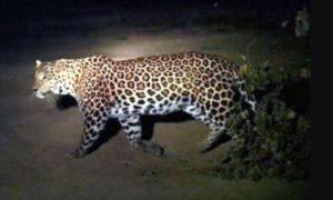 Leopard, Captured, Farms, Village, Dungarpur, Haryana