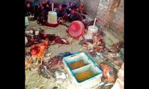 Dogs, Penetrated, Poultry Farm, Farmer, Punjab