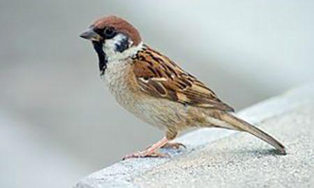 Sparrow, Balmans, Bhisham Sahni