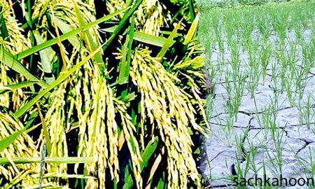 Paddy Crop, Low Cost, Rajpal Singh, Farmer