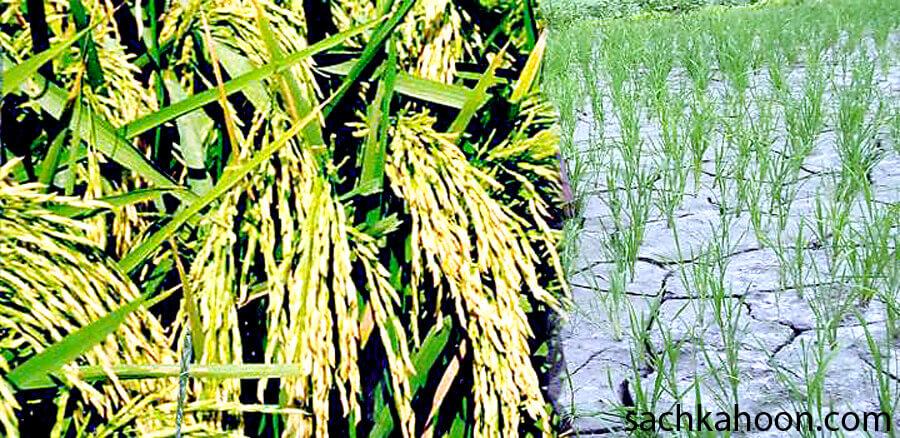 Paddy Crop, Low Cost, Rajpal Singh, Farmer