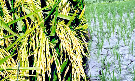 Paddy, Extraction, Low Cost, DSR, Modern Agriculture