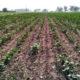 farmers, Worried, Laborers, Cotton Crop, Punjab