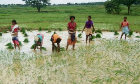 Paddy, Cultivation, Crop, Children, Punjab