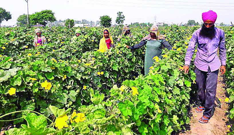 Slowdown, Vegetables, Farmers, Rate, Punjab