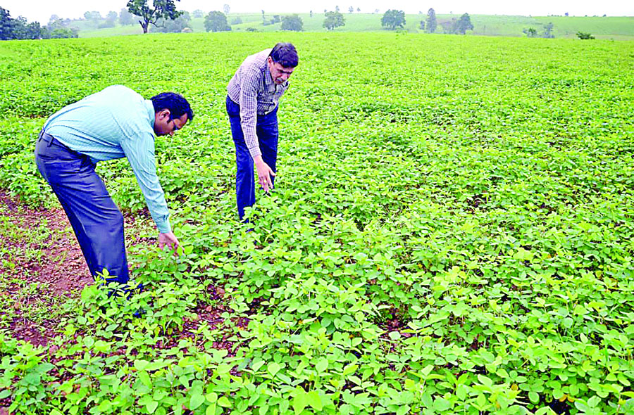 Soybean, Cultivation, Irrigated. Pest. Agricultural Control, Quintal, Hector
