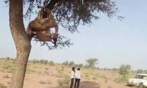 Deer, Hunting, Dead Body, Trees, Rajasthan
