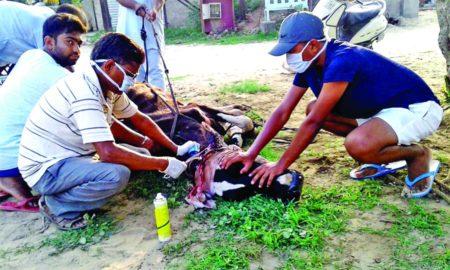 Destitute Animal, Dera Sacha Sauda, Follower, Help, Gurmeet Ram Rahim, Welfare Work