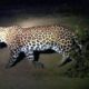 Leopard, Captured, Farms, Village, Dungarpur, Haryana