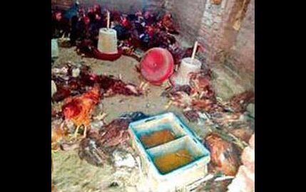 Dogs, Penetrated, Poultry Farm, Farmer, Punjab