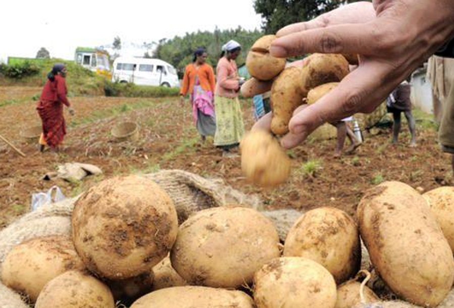 Farmers, Double Price, Potato, UP, West Bengal