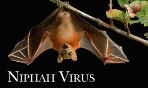 Nipah Virus, Panic, Dozendead, bats, Found, HimachalSchool