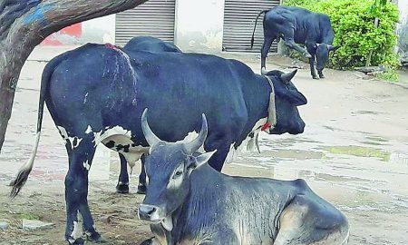 People Killed, Wandering Cattle, Punjab