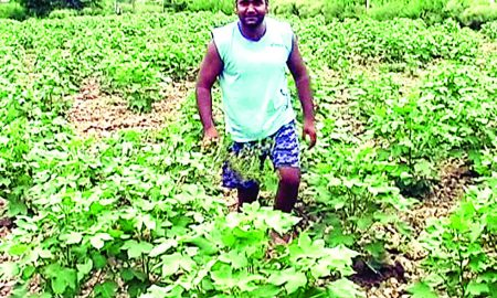 Ten Percent, More, Hope, First Crop, Haryana