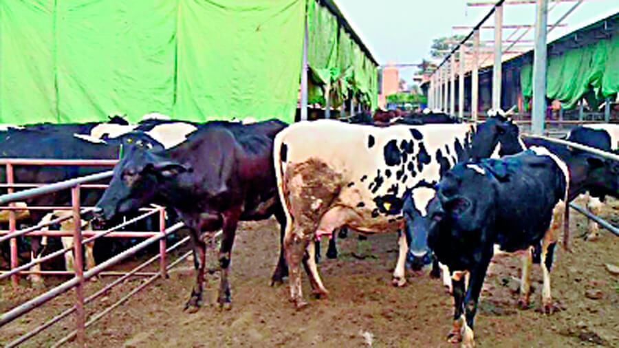 कैसा हो गाय-भैंस का आहार – Sach kahoon | Best ...