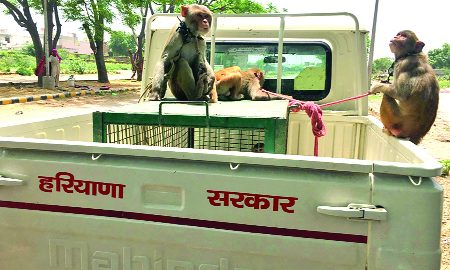 monkey faces torture of madari