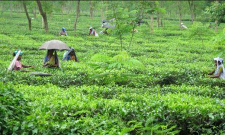 Tea Plantations Bengal