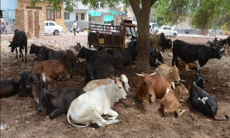 Problems, Stray, Animals, Jaipur
