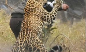 Leopard, Rage