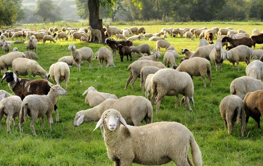 Trolley Crushed Sheep