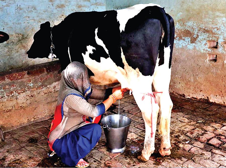 16 months old bullion giving 10 kg milk