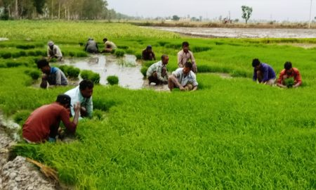 Baris wait for farmers to plant paddy