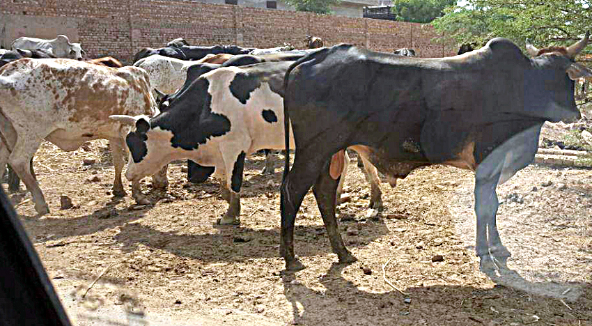 Livestock livestock wandering in search of shadows