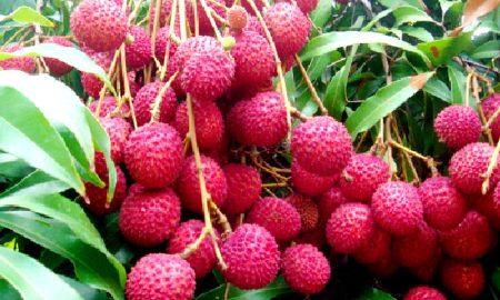 कैंसर और मधुमेह की रोकथाम में कारगर है लीची का फल
