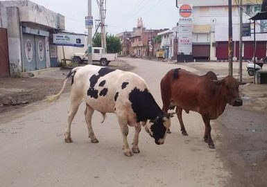 Destitute animals causing road accidents