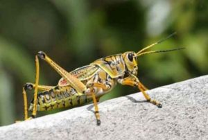 Locust group attacked in Jaisalmer and Udaipur districts in Rajasthan