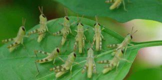 Locust Party