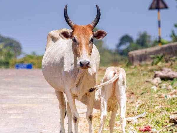 Wrong thinking of killing cows