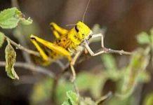 locust-control