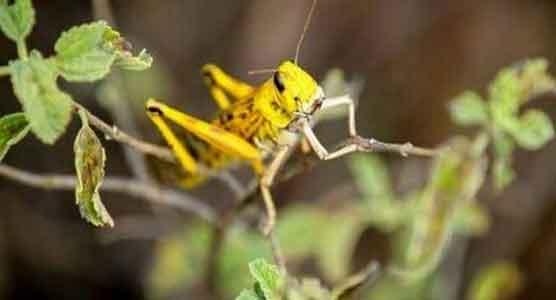 Locust Team