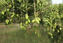 Mango Orchards