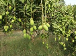 Demand of Mango