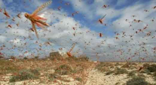 Locust Control